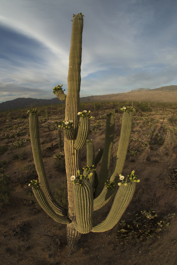 Tall_Saguaro
