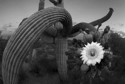 Saguaro15B&W