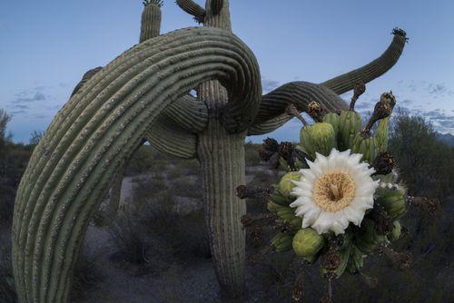 Saguaro color2